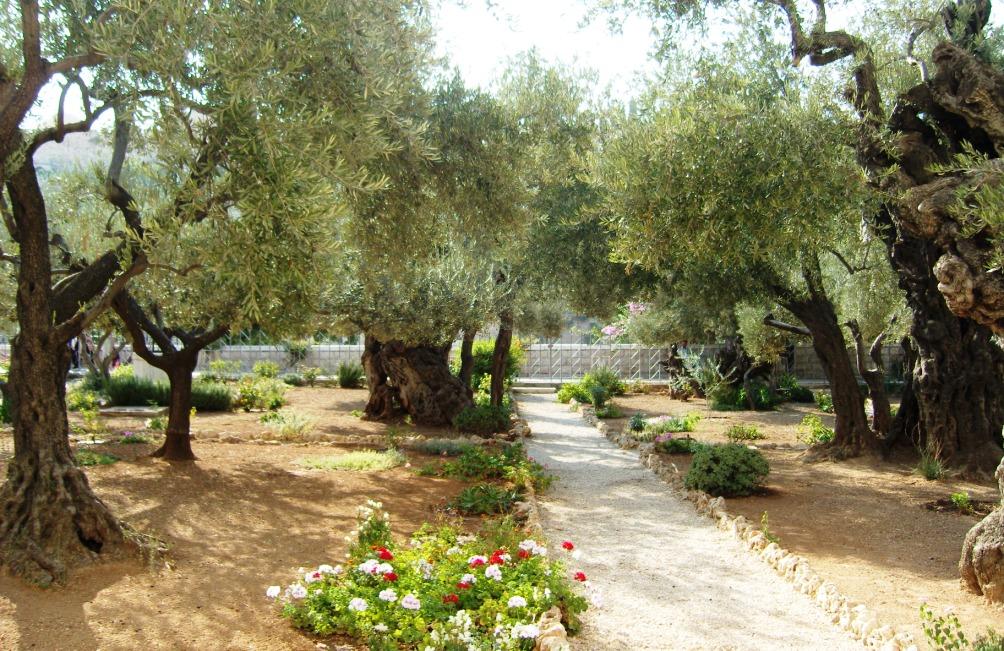 De hof van Gethsemane op de Olijfberg in Jeruzalem waar Jezus na het laatste avondmaal samenkomt met zijn discipelen.