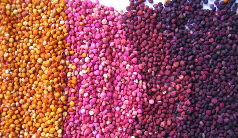 Zaden van de quinoa zijn zeer voedzaam en worden in het Westen steeds populairder.