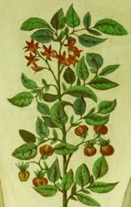 Inheems Voedsel - tomatenplant